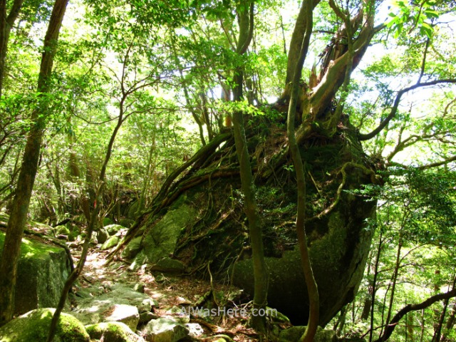 YAKUSHIMA 1. Arakawa Trail, Japon. Japan