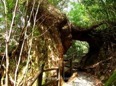 Cedro con doble tronco
