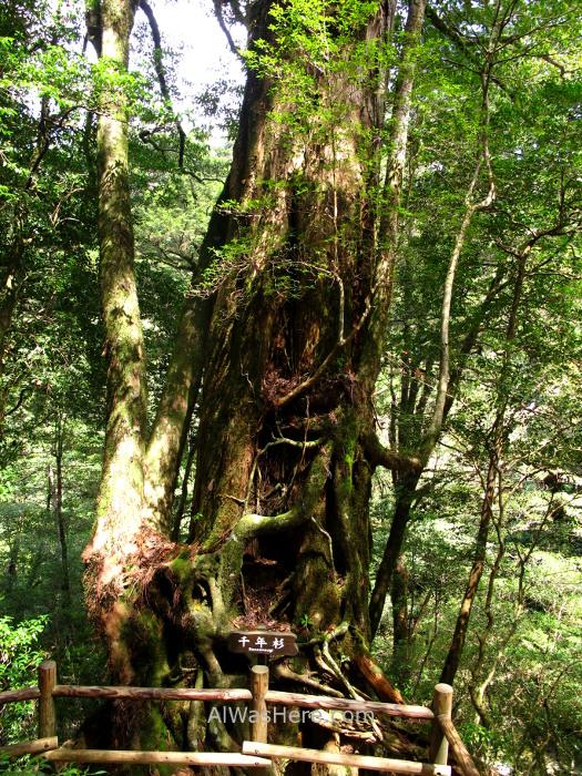 Yakushima 3. Sennensugi Yakusugi Land, Kyushu Japon Japan