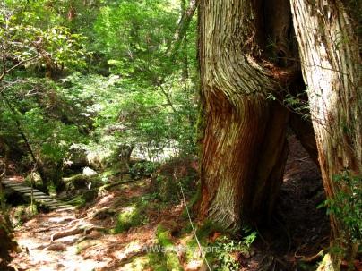Precioso cedro sin nombre junto al camino