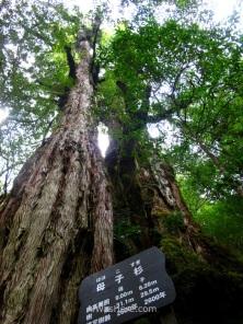 Oyakosugi