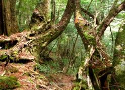 El camino pasa bajo estos dos árboles que forman un arco