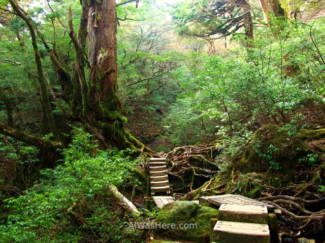 YAKUSHIMA 9. Ohokabu Trail, Japon. stairs Japan