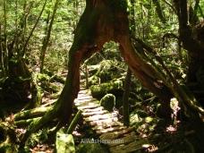 El sendero pasando bajo el cedro sin sombre sostenido por dos esbeltas patas