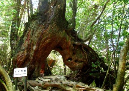 Y el sendero pasando bajo el vigoroso Kugurisugi