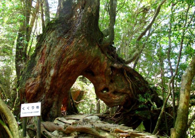 Yakushima Shiratani Unsuikyo 13. Kugurisugi, Miyanoura, Japon. Japan. Momonoke Hime.