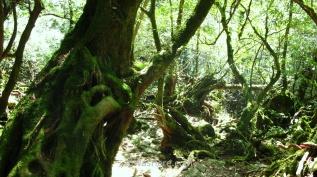 Extraordinario bosque húmedo en Yakushima, Kagoshima