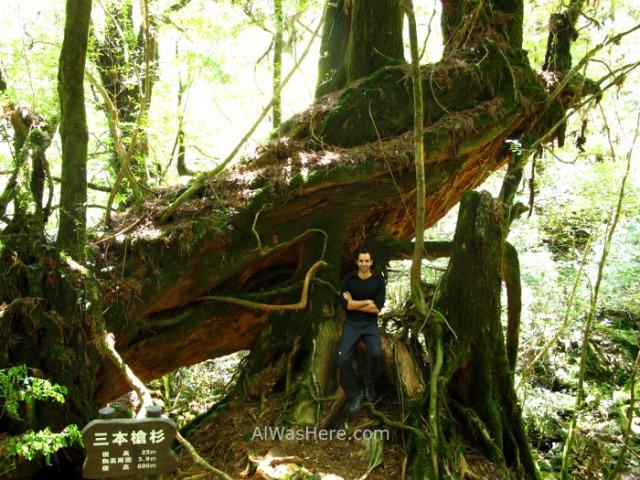 Yakushima Shiratani Unsuikyo 8. Sanboyarisugi, Miyanoura, Japon. Japan. Momonoke Hime.