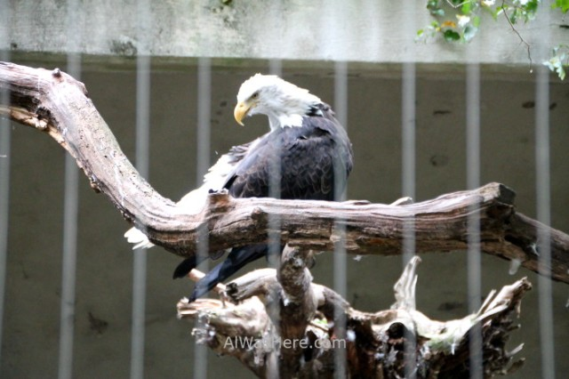 Nueva York Zoo del Bronx 2. Aguila Calva Bald Eagle Ave Bird. New Bear
