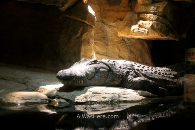 Nueva York Zoo del Bronx 4. Cocodrilo Crocodile. New
