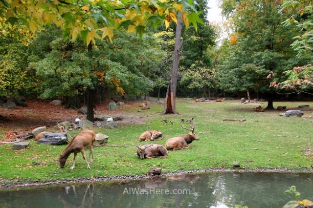 Nueva York Zoo del Bronx 5. Ciervos Deers. New