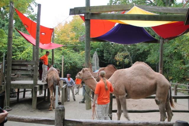 Nueva York Zoo del Bronx 5. Dromedario. New