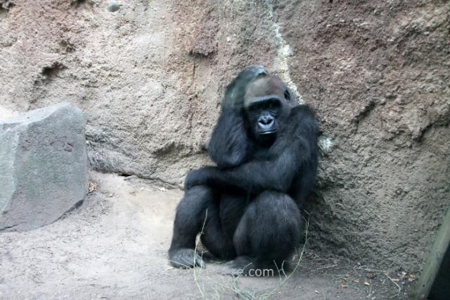 Nueva York Zoo del Bronx 5. Gorila Gorilla. New
