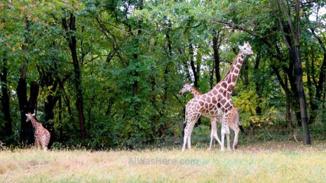 Nueva York Zoo del Bronx 5. Jirafas Giraffes. New
