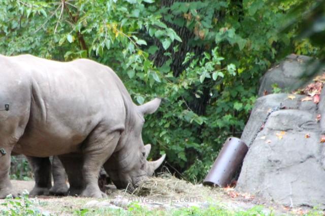 Nueva York Zoo del Bronx 5. Rinoceronte Rhinoceros. New