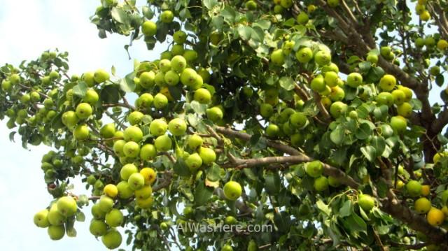 EFESO 12. Peras pears Turquia. Ephesus Turkey.