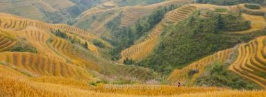 Las terrazas de arroz, una de las grandes atracciones en Asia, cambian de aspecto según la época del año. En invierno estarán llenas de agua que refleja la luz del sol, formando poéticas imágenes; en primavera estarán verdes; y en otoño se tornan de un espectacular color amarillo antes de la recolecta. En la imagen, las terrazas de Longji en Dazhai a mitad de octubre, Guilin