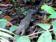 ... y lagartos de gran tamaño