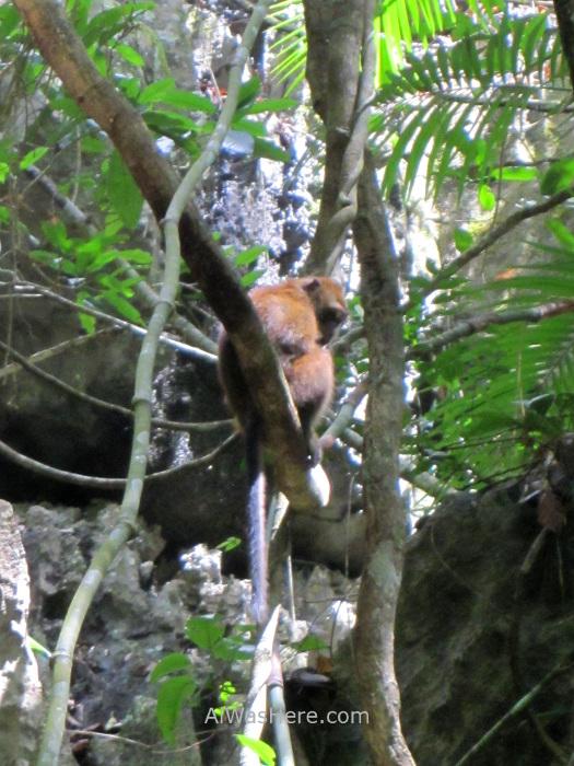 SABANG RIO SUBTERRANEO PUERTO PRINCESA 1. Jungle Trail. Underground River New 7 Wonders of Nature Maravillas Naturaleza, Palawan, Filipinas Philippines mono monkey