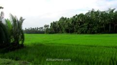Campos de arroz en Donsol, Filipinas