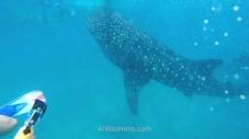 Tiburones ballena, Filipinas