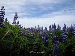 Preciosas flores de lupino en Stykkisholmur a final de junio de 2009