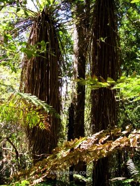 Helechos arborescentes en la parte final de recorrido