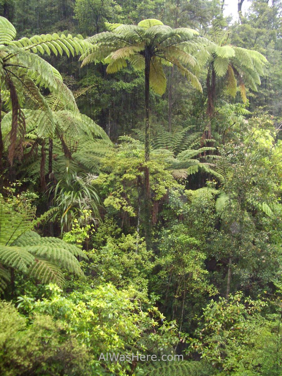 ABEL TASMAN NATIONAL PARK 1 Coastal Track helechos arborescentes tree ferns parque nacional, Nueva Zelanda New Zealand