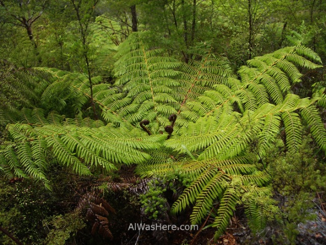 ABEL TASMAN NATIONAL PARK 2 Helecho gigante giant fern parque nacional, Nueva Zelanda New Zealand