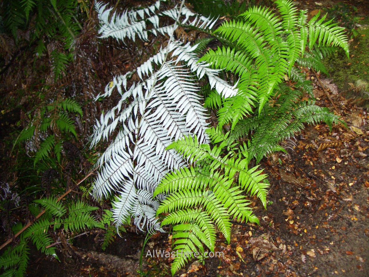 ABEL TASMAN NATIONAL PARK Helechos blancos white ferns Nueva Zelanda New Zealand