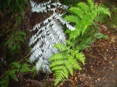 En el parque, y en esta sección en particular abundan todo tipo de helechos, a destacar los famosos helechos blancos, símbolo de Nueva Zelanda