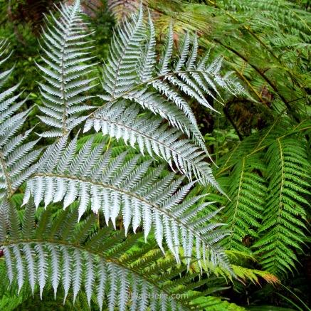 Helechos blancos en el Parque Nacional Abel Tasman, Nueva Zelanda