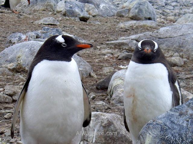 Antartida Cuverville Island Antarctica Pingüino Gentoo, Gentu o Juanito penguin (2)