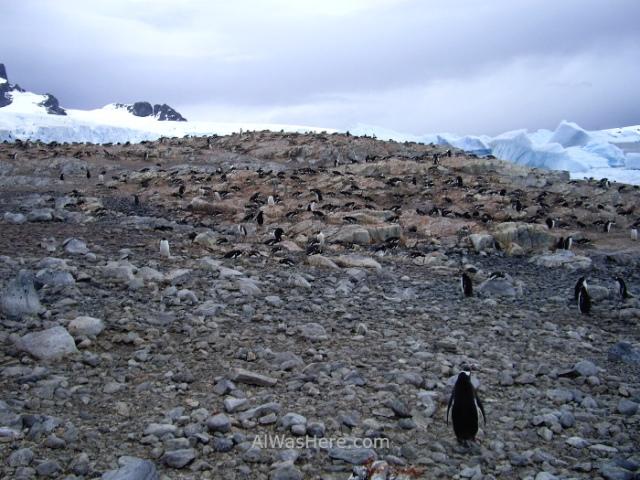 Antartida Cuverville Island Antarctica Pingüino Gentoo, Gentu o Juanito penguin (3)