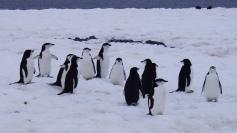 Grupo de pingüinos barbijos