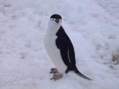 Un pingüino barbijo