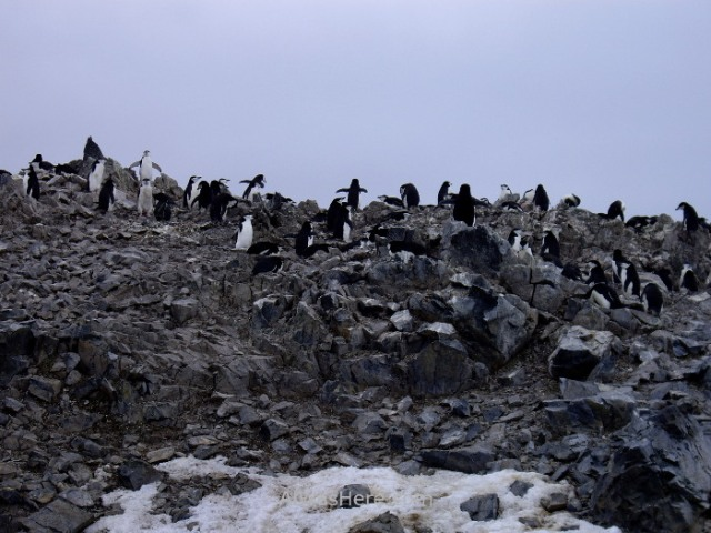 Antártida 2 Half Moon Island Antarctica Media Luna Pingüino Barbijo Colonia Chinstrap Penguin colony