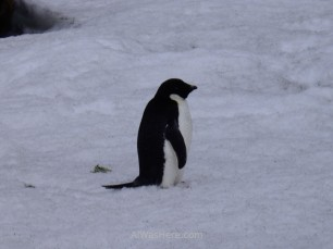 Un pingüino de Adelia