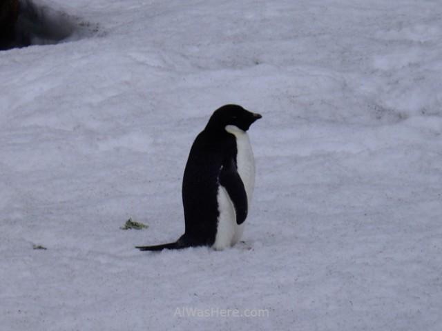Antártida 3 Deception Island Decepcion Antarctica Adelie Penguin pingüino