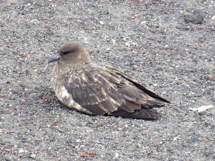 Antártida 3 Deception Island Decepcion Antarctica Pagalo subantartico brown skua
