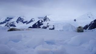 Otras dos focas cangrejeras. La de la derecha también está mudando el pelaje de invierno a verano
