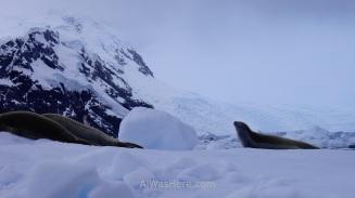 Tres focas cangrejeras. La de la derecha está mudando el pelaje de invierno a verano