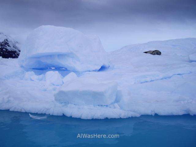 Antartida Puerto Neko foca de Weddell Antarctica Neko Harbour Weddell Seal (2)