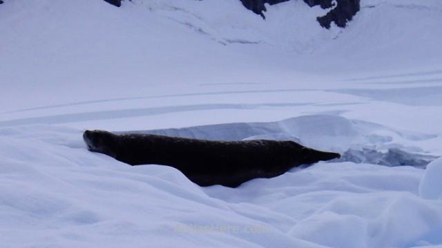 Antartida Puerto Neko foca de Weddell Antarctica Neko Harbour Weddell Seal
