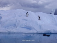 Esta es una de mis fotos favoritas de la Antártida: una foca leopardo acechando en el agua a dos pingüinos Gentoo, esperando que salten del iceberg