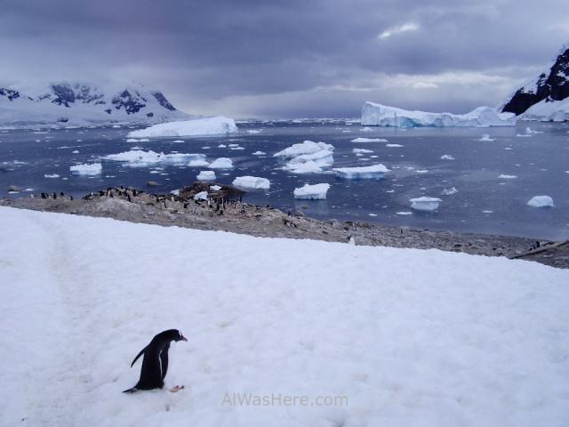 Antartida Puerto Neko pinguinos Gentu, Antarctica Neko Harbour Gentoo penguin