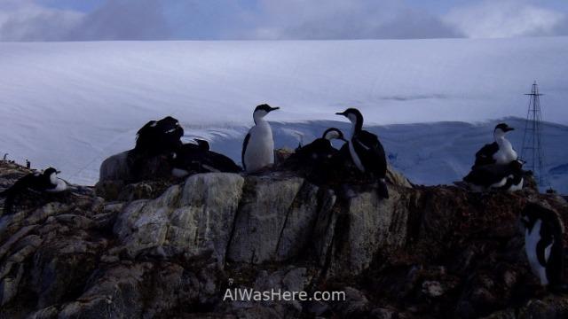 Antartida Port Lockroy Antarctica cormoran ojos azules blue eyed shag (2)