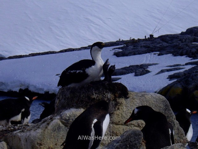Antartida Port Lockroy Antarctica cormoran ojos azules blue eyed shag