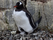 Y pingüinos Gentoo con sus polluelos, que monos