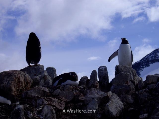 Antartida Port Lockroy Antarctica pingüinos gentoo penguins (3)